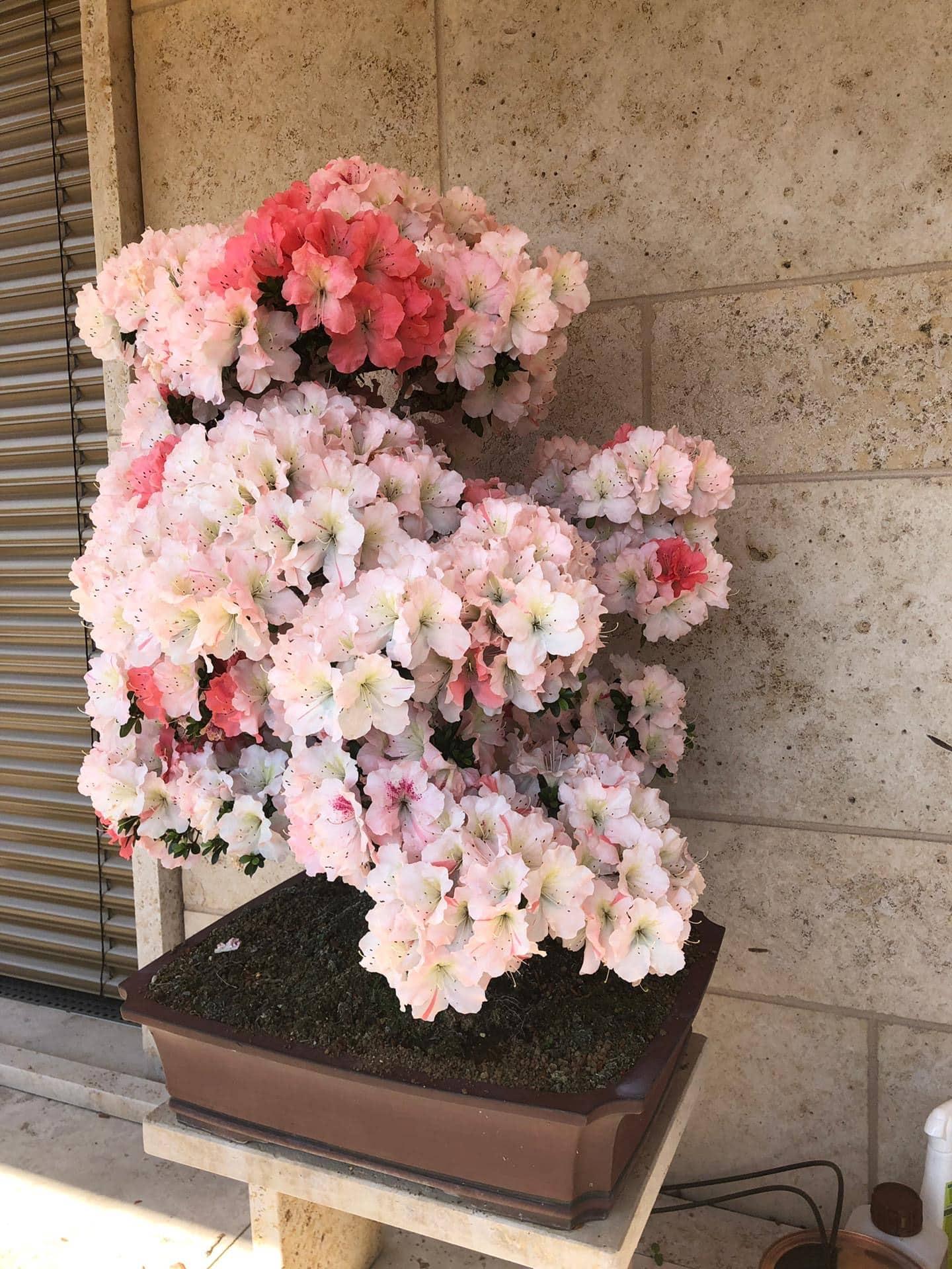 gardendesign-japanese-azalea-meilen