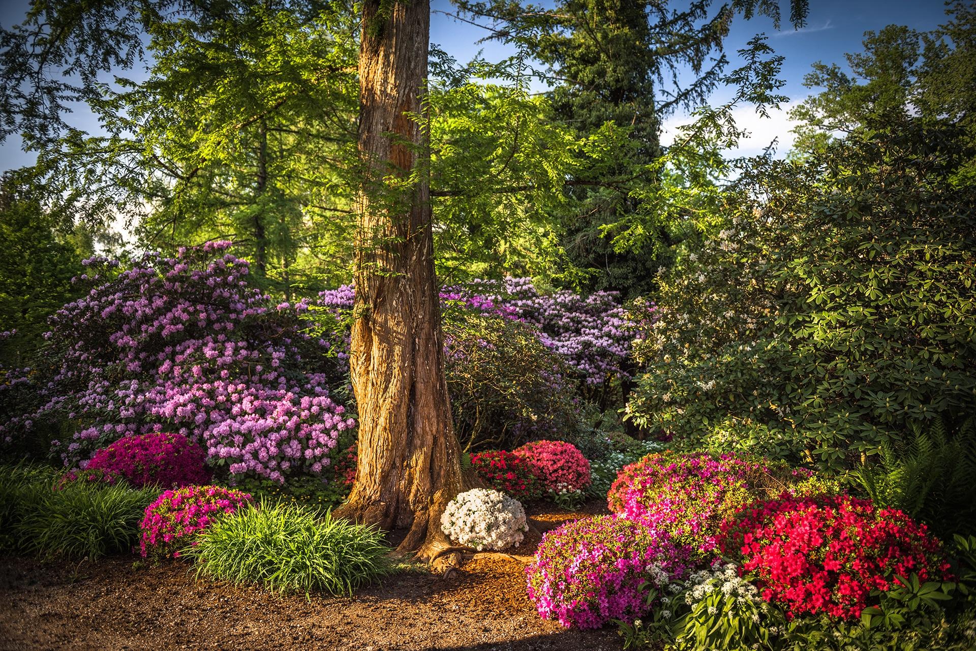 gardendesign-landscaping-japanese-azalea-zug-zurich