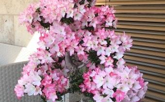 terrasse-gartengestaltung-japanisch-azalee-meilen