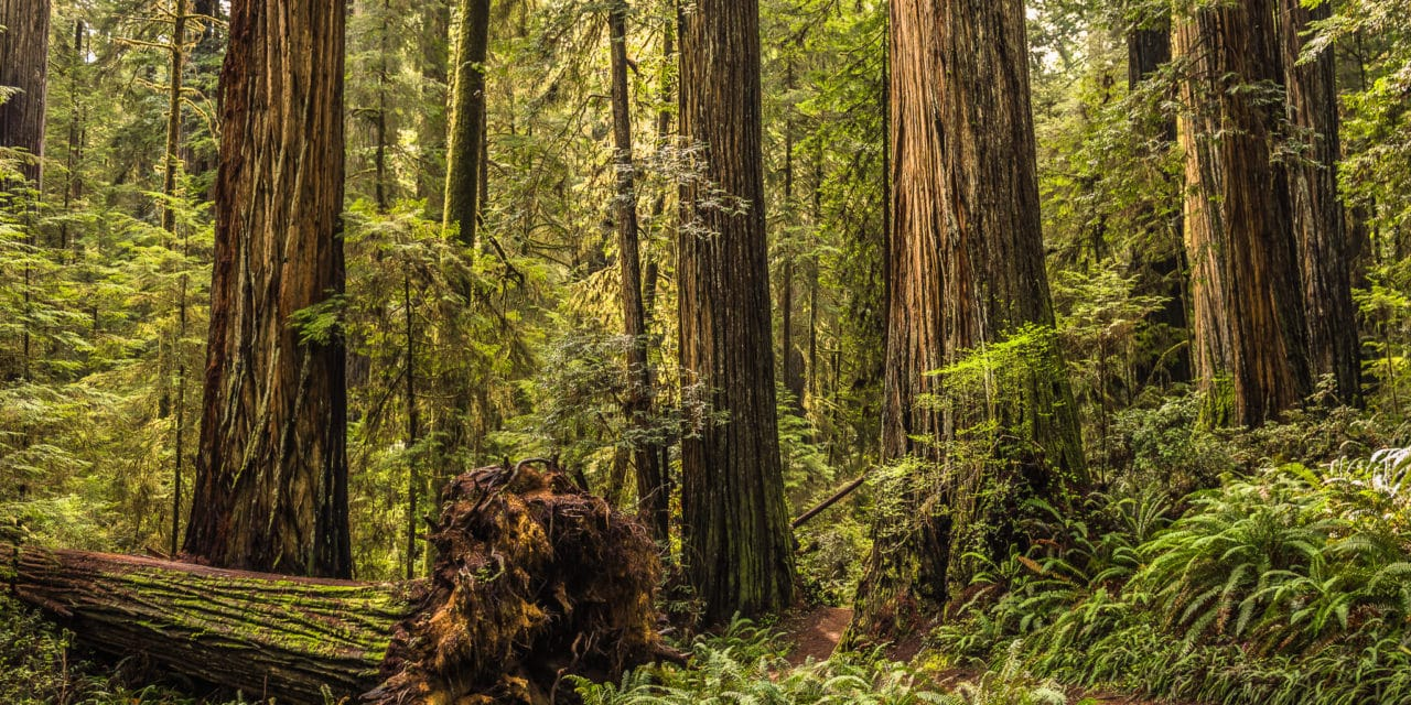 Redwooods in the Jedediah Smith Redwoods State Park near Crescent City