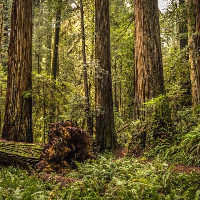 Eine Reise in die Küstenmammutbaumwälder Kaliforniens